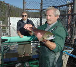 Brent Snider, manager of the Sawtooth Fish Hatchery, holds one of 22 sockeye salmon caught near Redfish Lake last Sunday. Standing behind Snider is Brian Ashton, a biologist aide at the Eagle Fish Hatchery, headquarters for the state's captive breeding program for Redfish Lake sockeye.