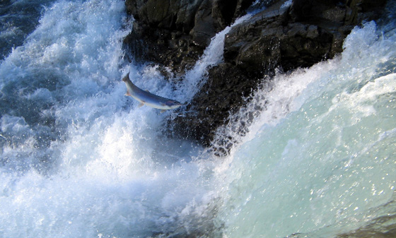 Adult Salmon attempts another jump on long journey upstream.