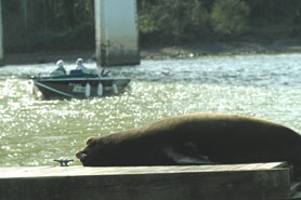 (Vern Uyetake) While California sea lions, like this one, eat 4.2 percent of adult salmon and steelhead runs, the sea lions cannot be killed. They tend to hang out near Willamette Falls between West Linn and Oregon City.