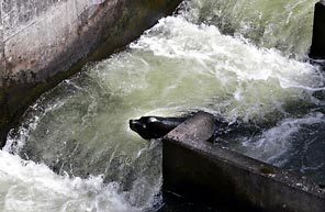 (Rick Bowmer/AP) Sea lion C404 is seen in the fish ladder at Bonneville Dam in March of 2006.
