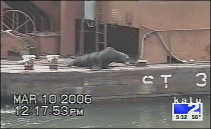 One sea lion hitched a ride on a barge and then simply jumped off when it arrived where he wanted.
