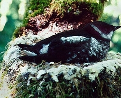 (AP files) Marbled murrelet numbers on the West Coast are down 34 percent since 2001.