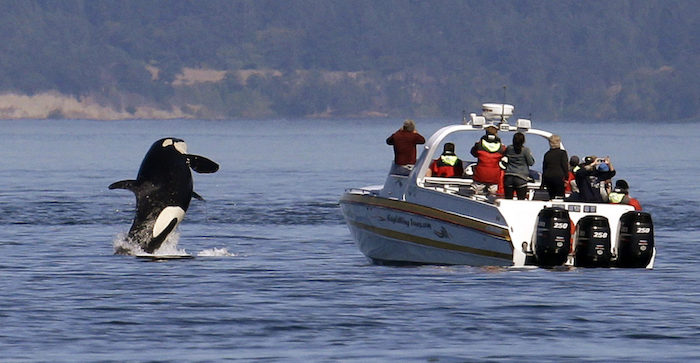 An orca leaps out of the water near a whale watching boat in the Salish Sea in the San Juan Islands, Washington in this July 31, 2015 file photo.