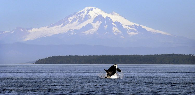 An orca whale breaches in view of Mount Baker, some 60 miles distant, in the Salish Sea in the San Juan Islands. (Photo by Elaine Thompson/AP)