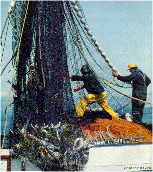Figure 5. Commercial fishing is often rough, dangerous, and physically demanding, but such types of work nourish strong, enduring bonds among participants who exhibit a collective will to assure that their life style continues. (courtesy Alaska Department Fish and Game)