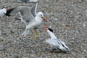 (Dan Roby) Gulls are a major problem in establishing new nesting sites for Caspian terns