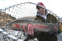Steelhead have been pouring over Lower Granite Dam in double the numbers to date of last year's record run up the Snake River.