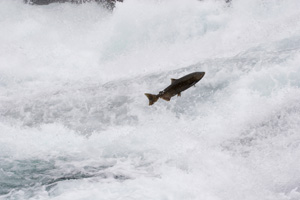 An adult salmon jumps upstream toward its natal spawning grounds.
