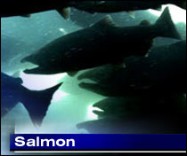 Adult salmon pass window for counting