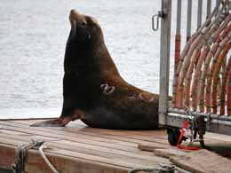 A scapegoated sea lion next to the killing machine on the Columbia River. Photo: Ninette Jones, Sea Lion Defense Brigade