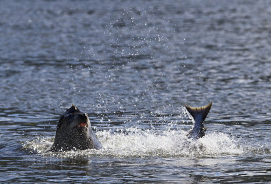 (Thomas Boyd) At Bonneville Dam, the sea lions continue to munch endangered salmon.