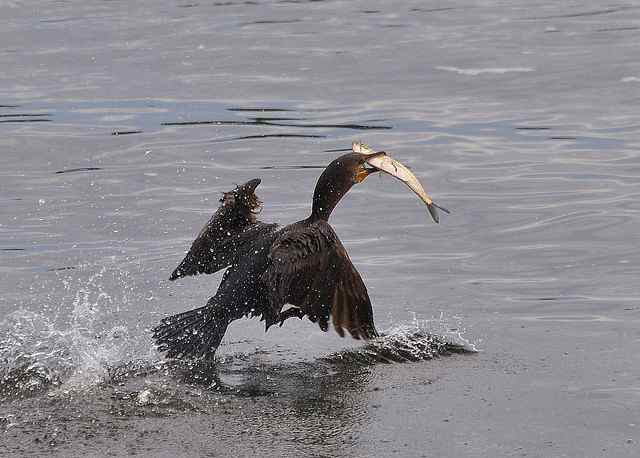 Seabirds catch and eat salmon so federal officials now plan to eliminate 11,000 double-crested cormorants.