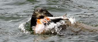 A sea lion catches an endangered chinook salmon migrating up the Columbia River