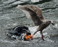 A sea lion gets its fill of salmon near Bonneville Dam in 2008.