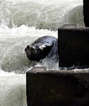 (Rick Bowmer) Sea lion C404 is seen in the fish ladder at Bonneville Dam in this March 21, 2006 file photo, in Cascade Locks, Ore. A federal agency has authorized the killing of some California sea lions that prey on migrating salmon and steelhead at the base of Bonneville Dam on the Columbia River.
