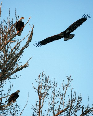 (Ashley Smith) Bald eagles flock near Box Canyon in the Thousand Springs State Park in December. They arrive each winter and dozens of the eagles can be seen perching on trees and flying in search of food. Supporters of the Endangered Species Act point to the recovery of the national symbol as one of the act's greatest successes.