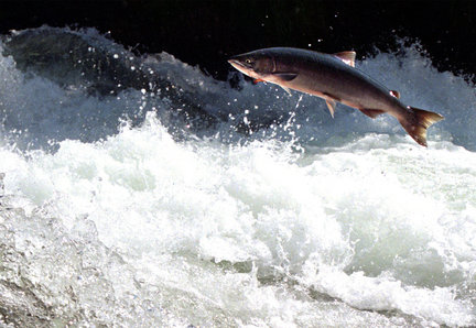 An adult sockeye leaps upstream en route for its natal spawning grouds.