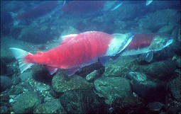 Sockeye Salmon (Oncorhynchus nerka) -- Photo: Travis Nelson, Washington Dept. of Fish & Wildlife