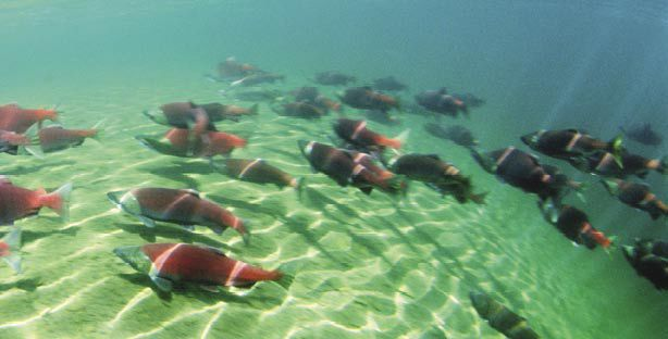 Sockeye are among the five species of salmon and steelhead that spawn in the Columbia Basin. Photo courtesy of NOAA.