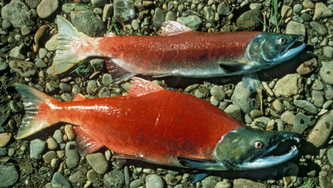 A male, bottom, and female sockeye salmon during spawning season, a time when their bodies turn red. (US Fish and Wildlife Service photo)