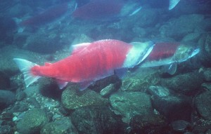 A pair of Sockeye Salmon