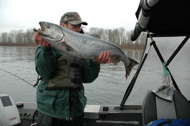 (Dick Borneman) A spring chinook caught in early March 2009 near the upper end of Bachelor Island