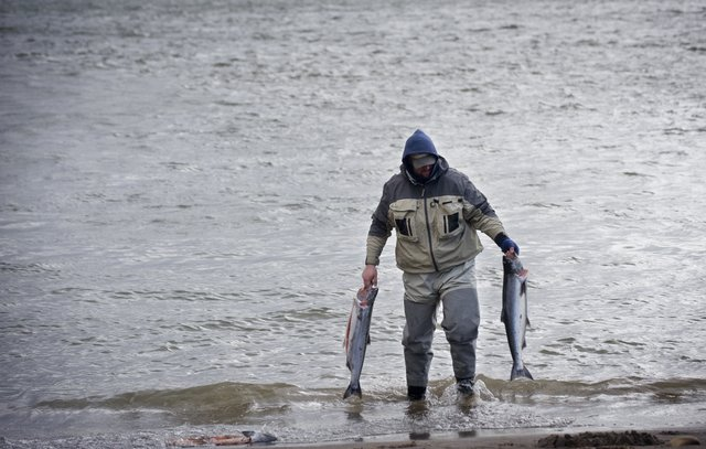 David Wells of Edmonds washes two spring chinook in April in the Columbia River at Marine Park.