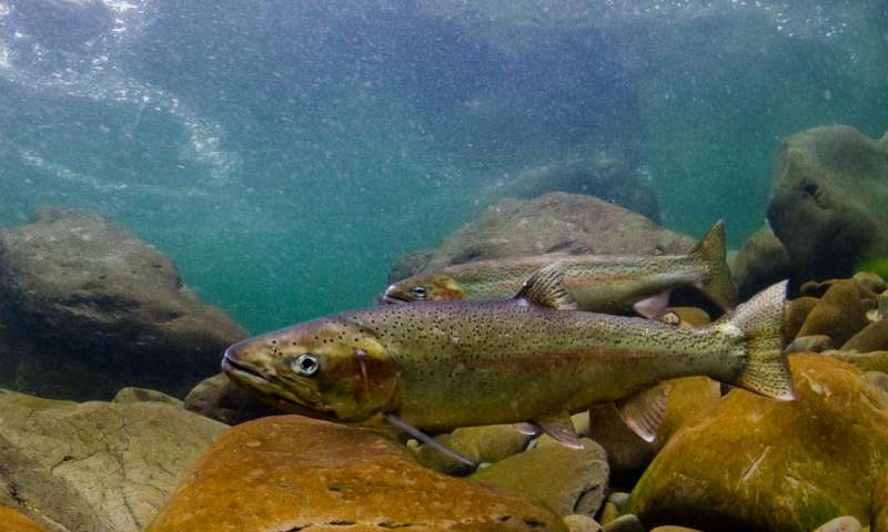 Researchers find declining survival of juvenile steelhead trout in the ocean is strongly coupled with significant declines in populations of steelhead in the Pacific Northwest. (Photo Morgan Bond)