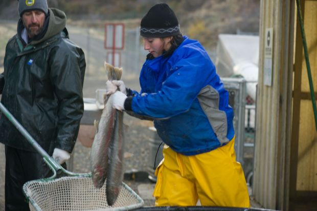 Oxbow Hatchery employee Rosalie Bauer, right, a technician from Hailey, loads fish into a net held by a representative from the Nez Perce tribe. These fish will be distributed among tribal members for food.