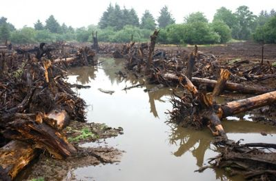 Woody debris lies along the banks of a tidal channel dug into the Otter Point restoration site at Lewis and Clark National Historical Park. Most of the wood was salvaged from the park property as the site was being cleared.