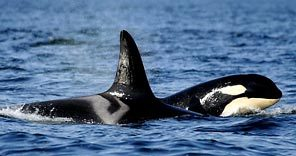 (AP Photo) A female orca travels with her 3-year-old offspring near the San Juan Islands.