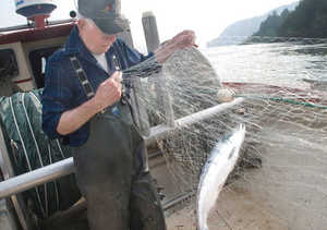 (Gordon King) Commercial fisherman Les Clark pulls a sockeye, or blueback, salmon from his net while fishing on the Columbia River near Skamania, Wash. on July 3, 2008. It's the first time Clark has been able to fish for coho in more than 20 years. An abundant run of coho has allowed limited commercial fishing this summer.