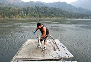 (Gordon King) Will Zack pulls a just-caught sockeye, or blueback, salmon from a hoop net on his family's fishing scaffold on the Columbia River just east of Bonneville Dam on June 30, 2008. Zack, a Yakama indian, will sell the salmon for about $7 a pound.
