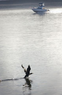 (Zachary Kaufman) A cormorant takes flight on the Columbia River at Tidewater Cove on Thursday. A new EPA study shows that chemical pollution continues to threaten the health of humans, fish and wildlife.