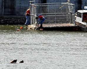 (Steve Ringman/Seattle Times) Sea lions swim past one of two moored traps along the Columbia River where six sea lions were shot to death Sunday. The traps were removed and the trapping program has been suspended.
