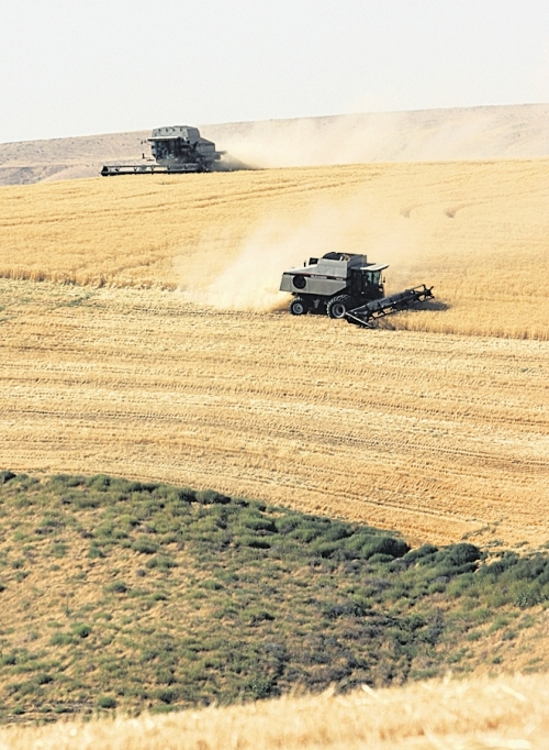 (Terence L. Day) Two Gleaner combines make their way through a hillside field on the Arnold Van Hollebeke farm 22 miles northeast of Pasco near the Star School on the Pasco-Kahlotus Highway on Aug. 2.