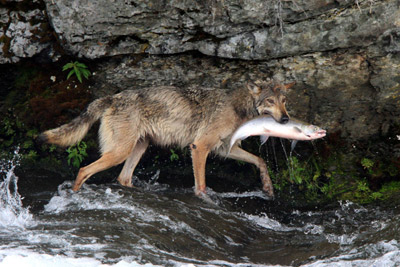 A wolf carries a salmon from the river